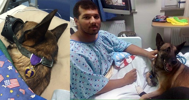Image of Recovering Military Working Dog Rocky With Purple Heart Goes Viral