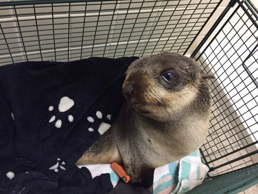 FREMONT, Calif. — Authorities say a baby seal made it 4 miles from the water to the front yard of a home in the San Francisco Bay Area.