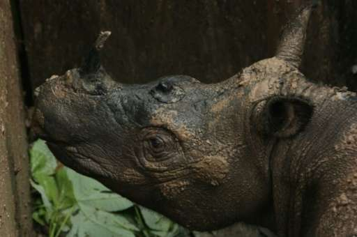 First Contact In Decades With Rare Sumatran Rhinoceros