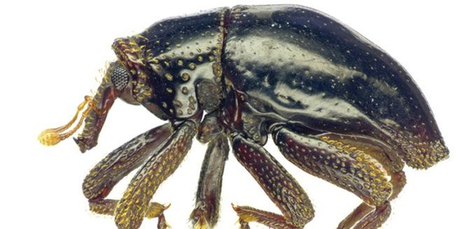 Newly Discovered Weevil Named After Chewbacca From 'Star Wars'