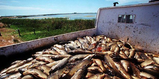 Australia to Use Herpes Virus to Eliminate European Carp Infestation in River System