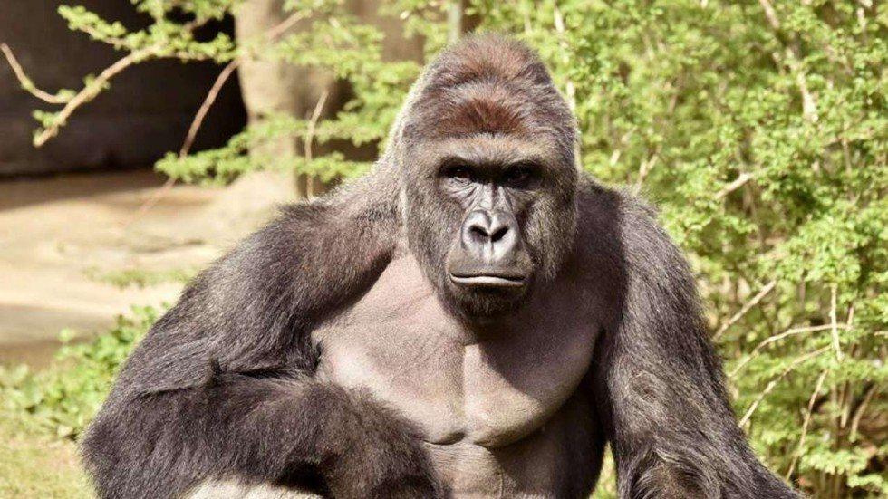 Cincinnati Zoo Gorilla killing Sparks Probe into Possible Criminal Charges