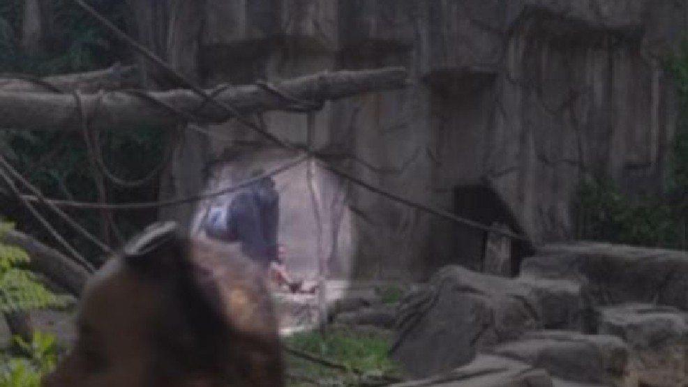 Cincinnati Zoo: Gorilla Shot and Killed After 3-Year-Old Boy Falls Into Enclosure
