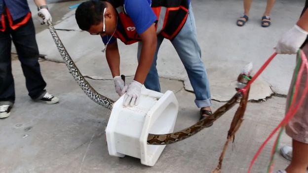 Thailand: Python Emerges From Toilet and Bites Man's Penis