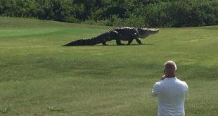 VIDEO Giant Alligator Roams Around Florida Buffalo Creek Golf Course