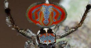 VIDEO Sydney Biologist Identifies New Peacock Spiders Species