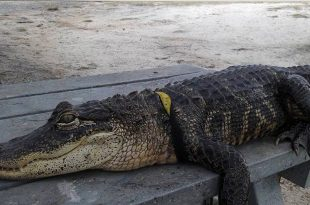 Lakeland, Florida: Alligator Found With Human Body In Its Mouth