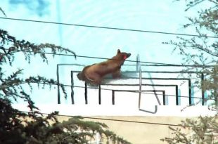 Black Bear Goes For a Dip in La Cañada Flintridge Neighborhood Pool