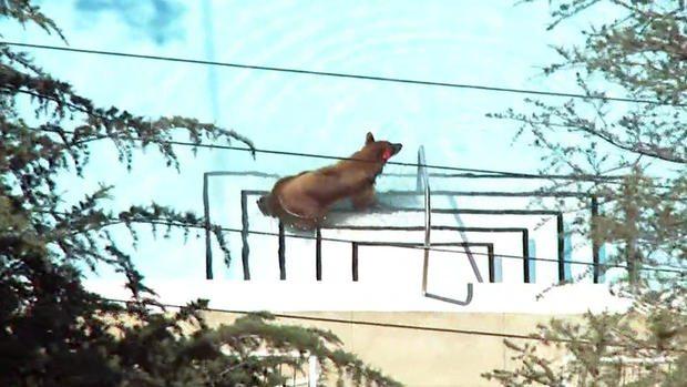 Black Bear Goes For a Dip in La Cañada Flintridge Neighborhood Pool
