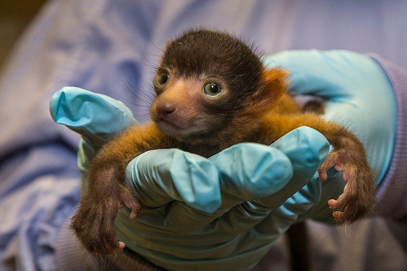 San Diego Zoo Welcomes First Red Ruffed Lemur Birth In 13 Years