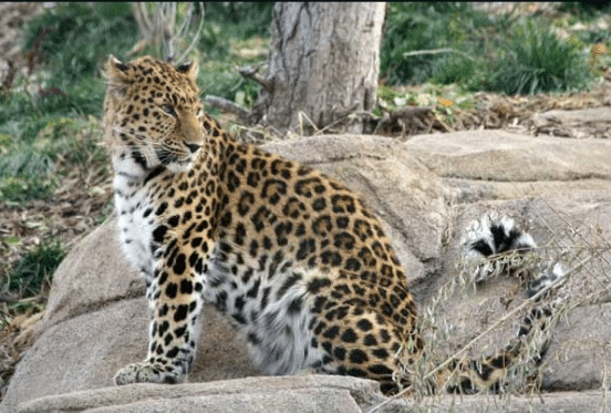 Leopard Escapes From Utah Zoo