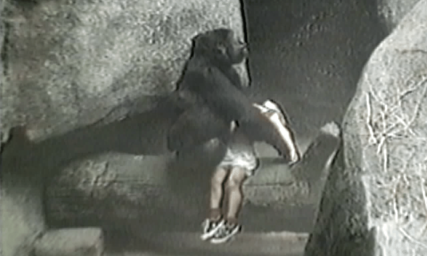 Video Gorilla Rescuing 3-Year-Old Boy at Brookfield Zoo in 1996
