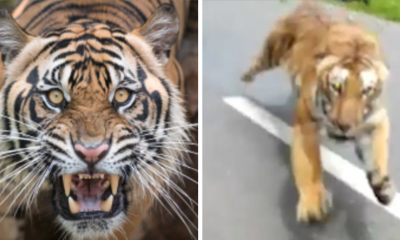 Motorcyclist Escapes Death After Being Chased Down By Huge Tiger